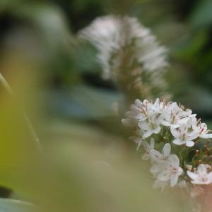 白花にじむ