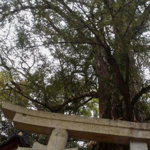 古刹には古木