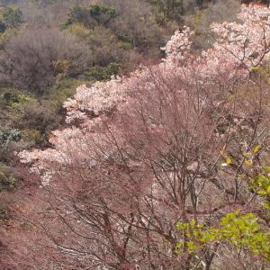 氷の道の山桜
