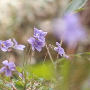 薄紫揺れる