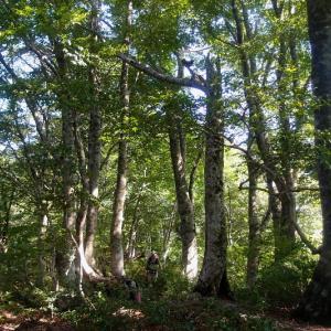 南稜のブナ並木