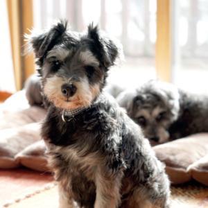 家庭犬への道*