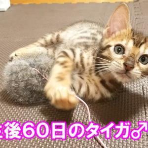 子猫のタイガ登場