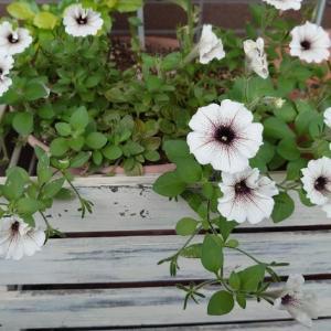 初夏~夏のお花たち