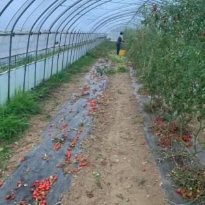 トマトと触れ合った1年がもうすぐおしまい✨いよいよ冬ですね✨