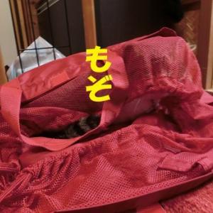 バッグに入りたがる猫①