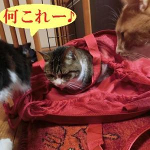 バッグに入りたがる猫②