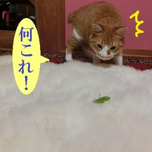 バッタにびびる猫