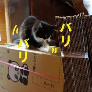 ダンボールにテンション上がる猫