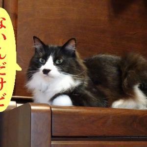 ダンボールがなくなったことに腹を立てる猫
