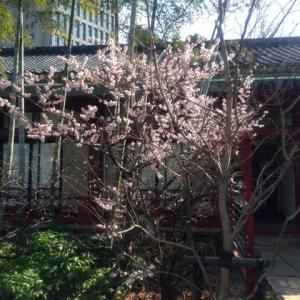 桃の花が咲き始めました。
