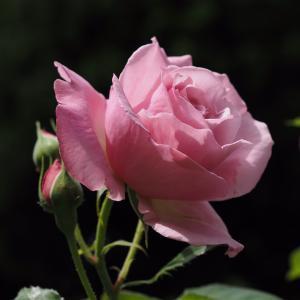 薔薇の花2