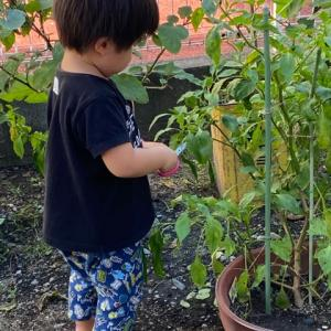 3歳児ハサミで上手に収穫です。6歳ネエネは月見団子作り。