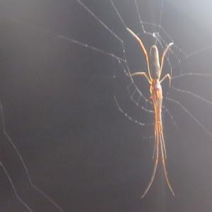 ヤサガタアシナガグモ(優形脚長蜘蛛)