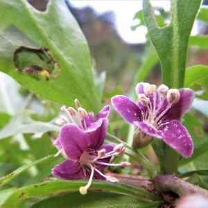 クコ(枸杞)の花