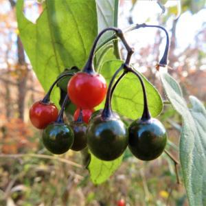 ヒヨドリジョウゴ(鵯上戸)の果実