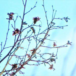 アサダ(浅田)の果実と雄花