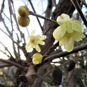 ソシンロウバイ(素心蝋梅、蠟梅、臘梅、唐梅)の花と果実