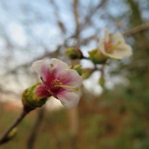 チョウジザクラ(丁字桜)