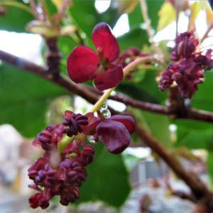 ミツバアケビ(三葉木通・通草) の花