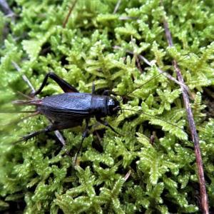 エンマコオロギ(閻魔蟋蟀)