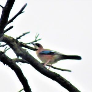 カケス(橿鳥、懸巣、鵥)