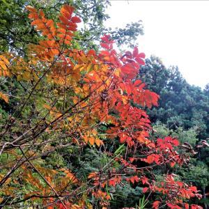 ヤマウルシ(山漆)の紅葉