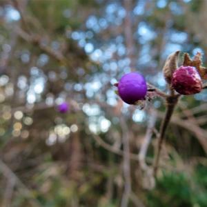 ヤブムラサキ(藪紫)の果実