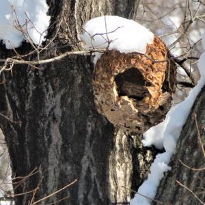 キイロスズメバチ(黄色雀蜂)の巣