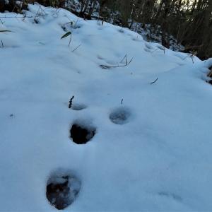ノウサギ(野兎)の足跡