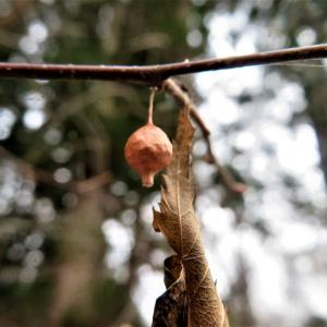 チリイソウロウグモ(塵居候蜘蛛)の卵嚢