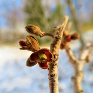 マンサク(万作・満作・金縷梅)の花芽