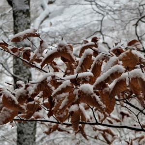 イヌブナ(犬椈、犬山毛欅、犬橅)の葉と芽