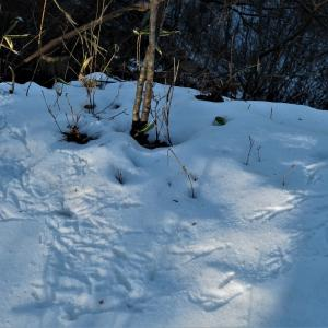 ヤマドリ(山鳥)の足跡