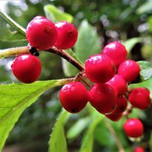ウメモドキ(梅擬)の果実