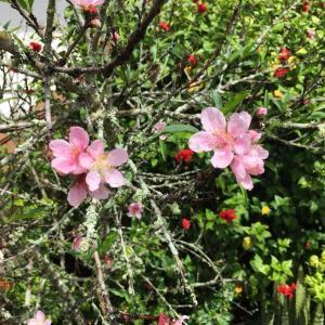 お知らせ&オアフで桜やツツジを見よう♪&美味しい食べ物の名前がついた道の数々