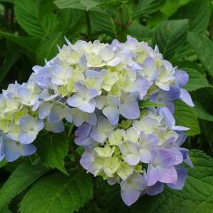 紫陽花(5/23)