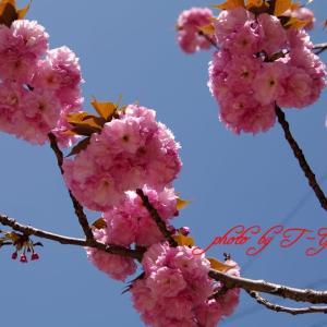 今年の八重桜 Pentax K7 &  smc PENTAX-DA 18-135mmF3.5-5.6ED AL [IF] DC WR