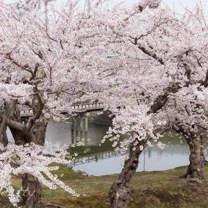 桜・桜・桜〜五稜郭公園(1)