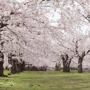 桜・桜・桜〜五稜郭公園(2)