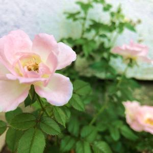 開く薔薇の花からハートを癒す香りのギフト