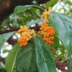 エッセンシャルオイルと雨に艶やかな金木犀