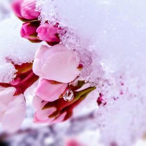 「桜かくし」~日本語の感性って美しいなぁ♪
