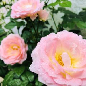 瑞々しいバラの花咲く癒しの季節