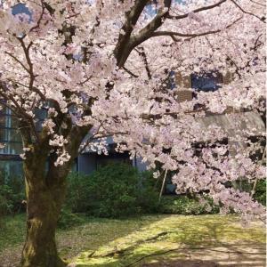 日本で今年、一番早く開花した桜の満開の様子をシェアします