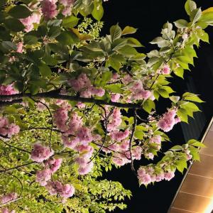 昨日の夜桜♪