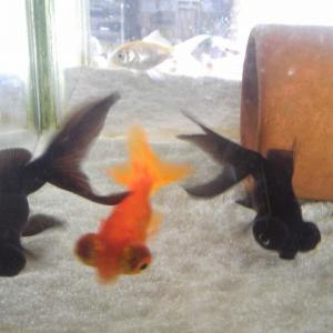 新しい金魚ちゃんをお迎えした話。