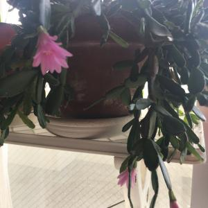 20年うちにあるサボテン、今年も花が咲きました。