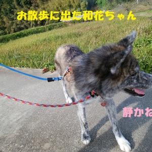 和花ちゃんのお嫁入り♪(その5:まずはお散歩♪)