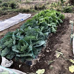 白菜の隣のキャベツも初収穫だ〜(^^)/